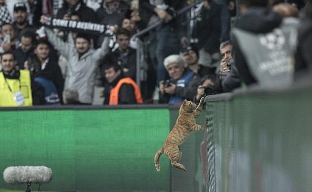 Chú mèo xuất hiện ở trận đấu của Bayern Munich - Bóng Đá