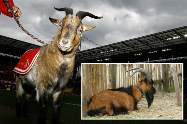 Cologne's famous goat mascot BANNED from stadium for first time in 12 years due to new Bundesliga hygiene rules - Bóng Đá