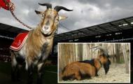 Chú dê linh vật của CLB Bundesliga bị cấm tới sân